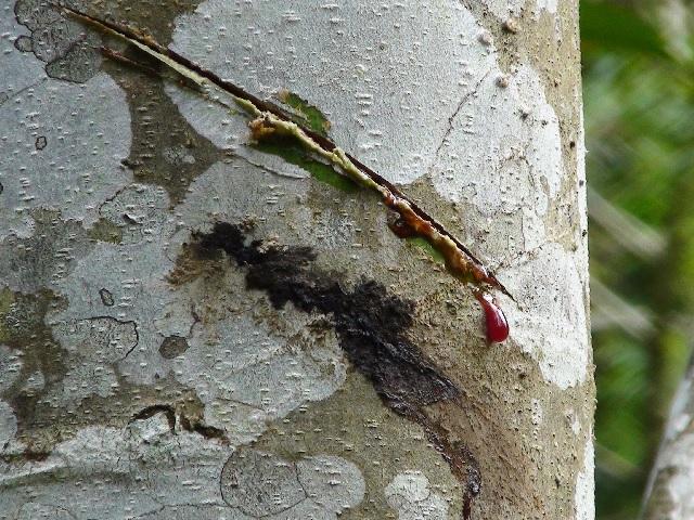 ドラゴンブラッドの赤い樹液