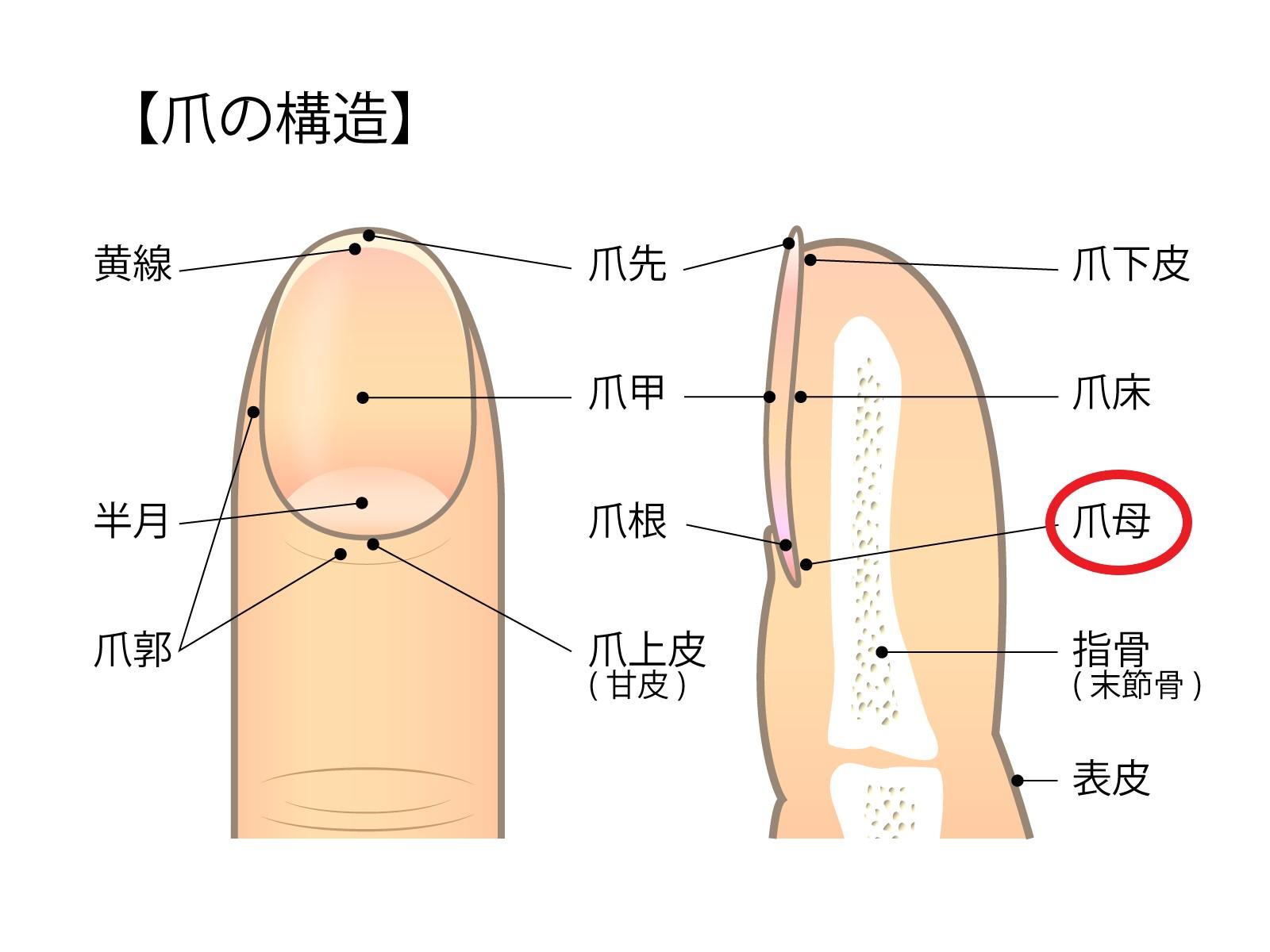 爪母 ネイルケア アルガンオイル